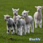 Bluefife